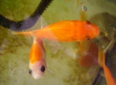 Ikan hias di aquarium