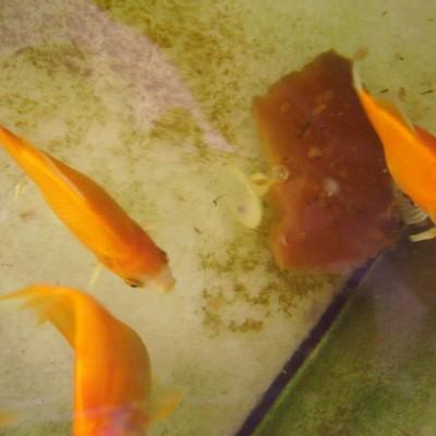 Ikan hias merah - aquarium