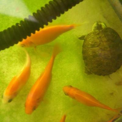 Ikan hias + kura-kura