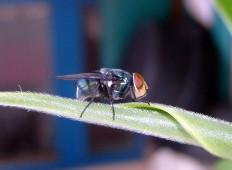Lalat biru metalik