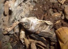 tengkorak ikan mati