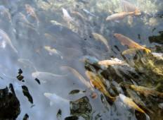 Kolam ikan di danau Kampung Sampireun