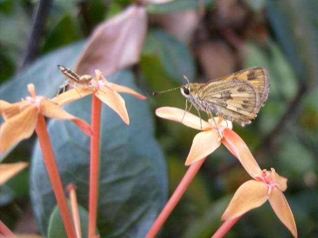 kupu-kupu kecil berhadapan dengan laba-laba