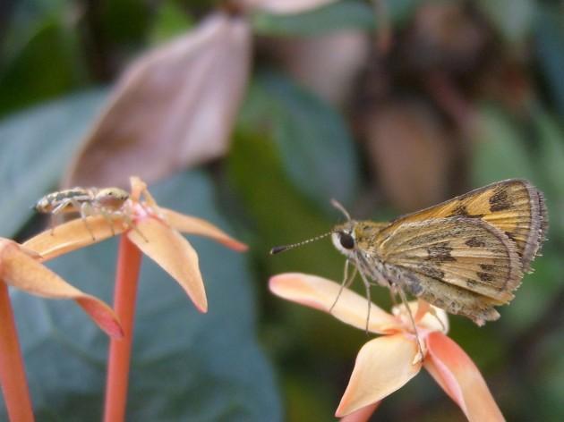 kupu-kupu kecil diincar laba-laba