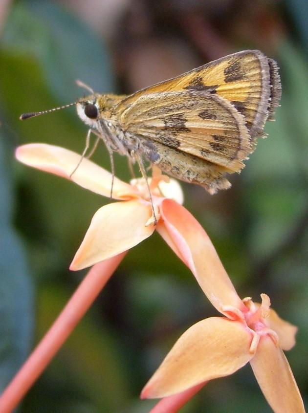kupu-kupu kecil hinggap di bunga